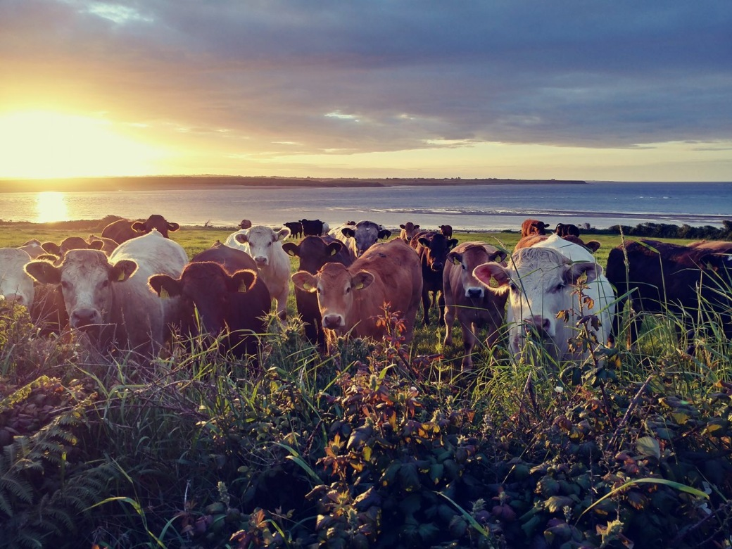 Cow picture-Ireland